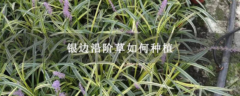 银边沿阶草如何种植