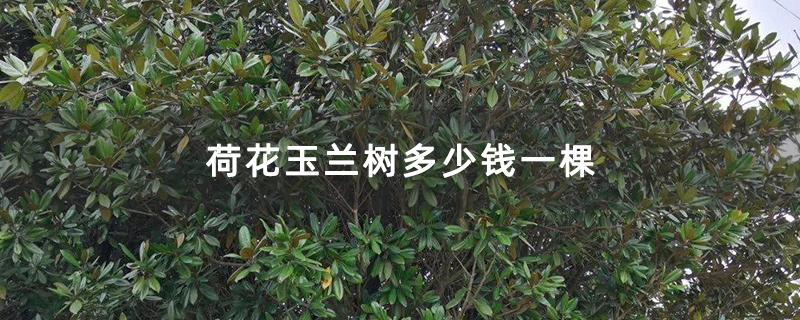 荷花玉兰树多少钱一棵
