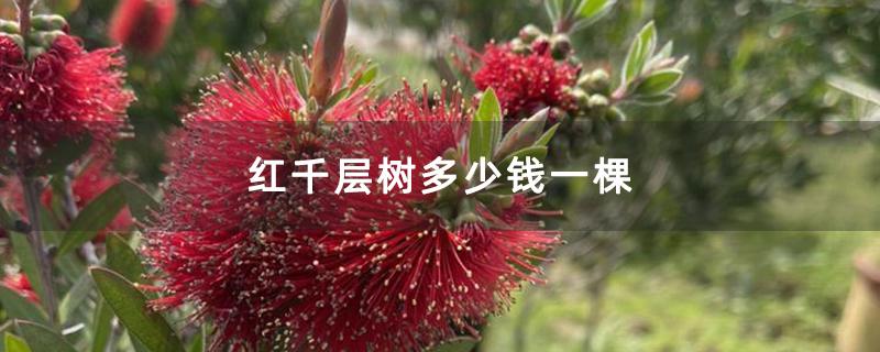红千层树多少钱一棵