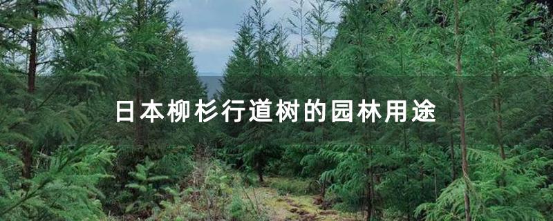 日本柳杉行道树的园林用途