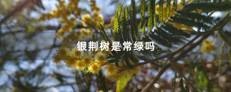 银荆树是常绿吗