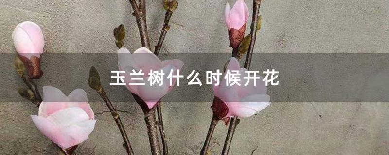 玉兰树什么时候开花