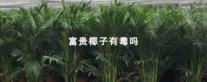富贵椰子有毒吗
