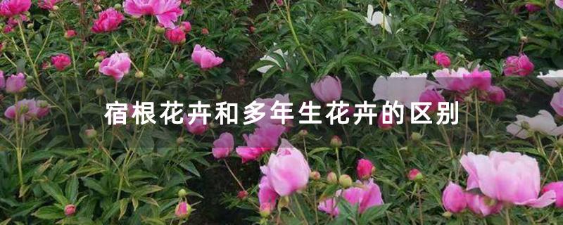 宿根花卉和多年生花卉的区别