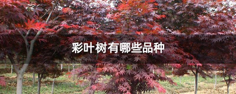彩叶树有哪些品种