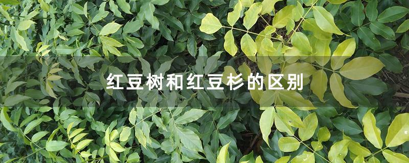 红豆树和红豆杉的区别