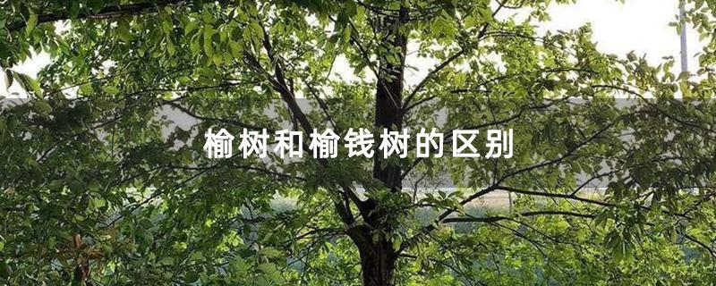 榆树和榆钱树的区别