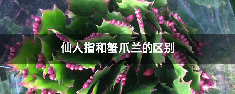 仙人指和蟹爪兰的区别