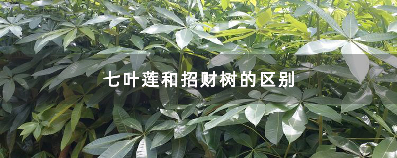 七叶莲和招财树的区别