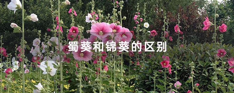蜀葵和锦葵的区别