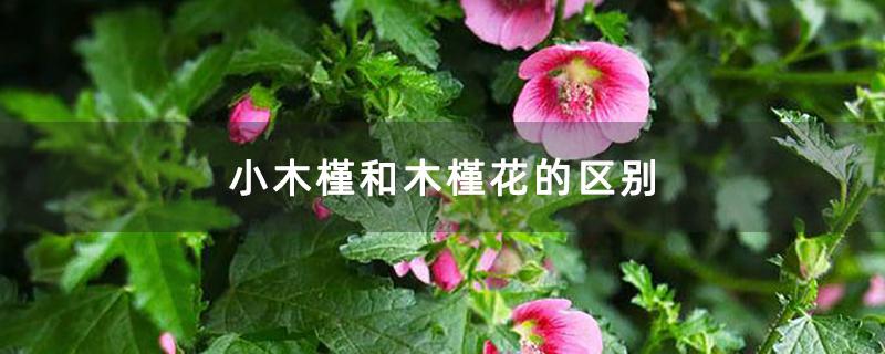 小木槿和木槿花的区别