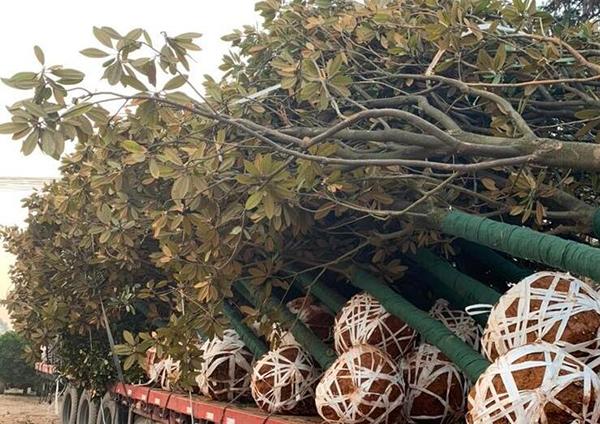 掌握4个关键点,夏季移栽大树包成活