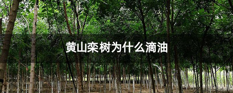 黄山栾树为什么滴油