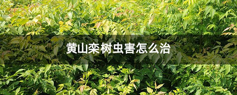 黄山栾树虫害怎么治