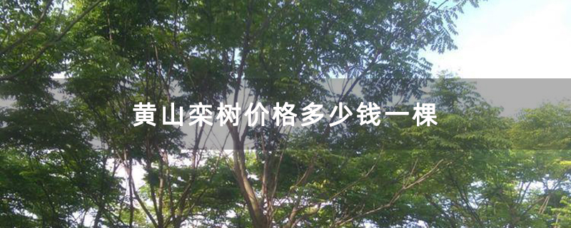 黄山栾树价格多少钱一棵
