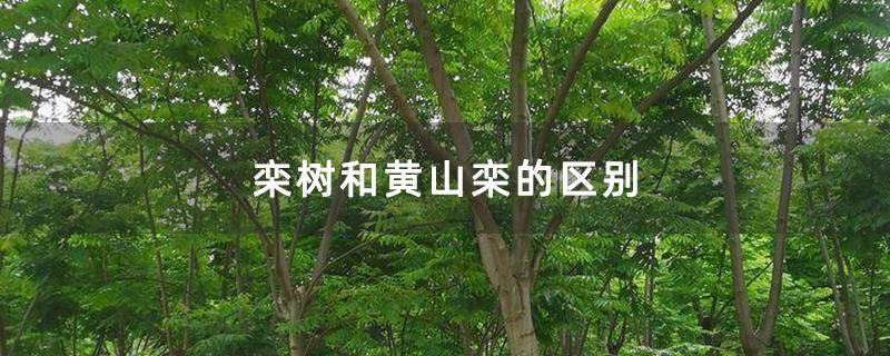 栾树和黄山栾的区别