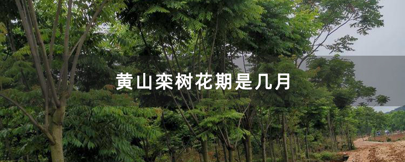 黄山栾树花期是几月
