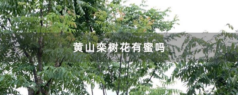 黄山栾树花有蜜吗