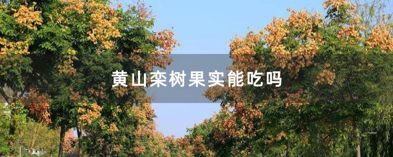 黄山栾树果实能吃吗