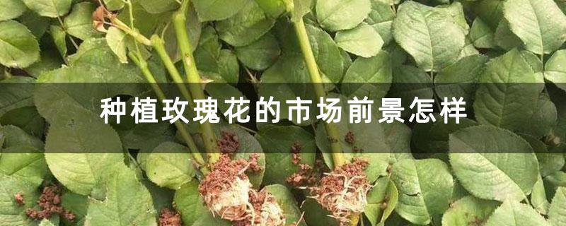 种植玫瑰花的市场前景怎样