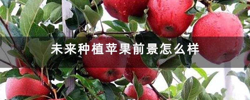 未来种植苹果前景怎么样