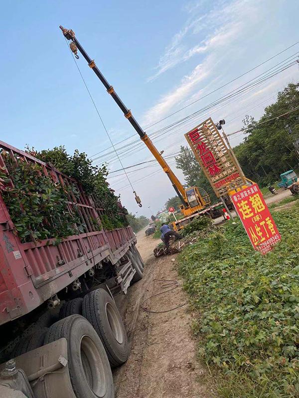 普货做到量价齐升,这家苗圃正在闷声发大财!——访宿迁巨龙园林工程有限公司