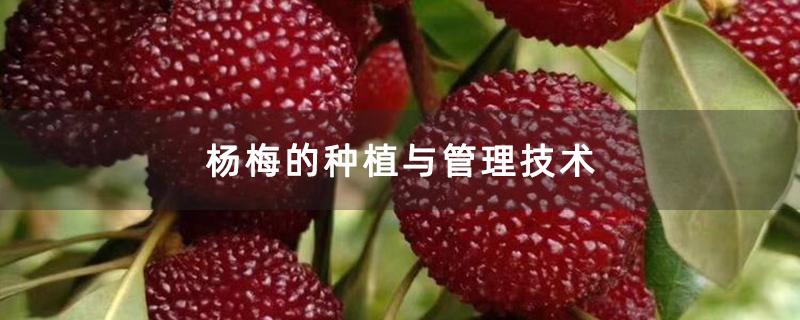 杨梅的种植与管理技术