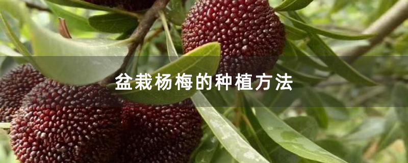 盆栽杨梅的种植方法