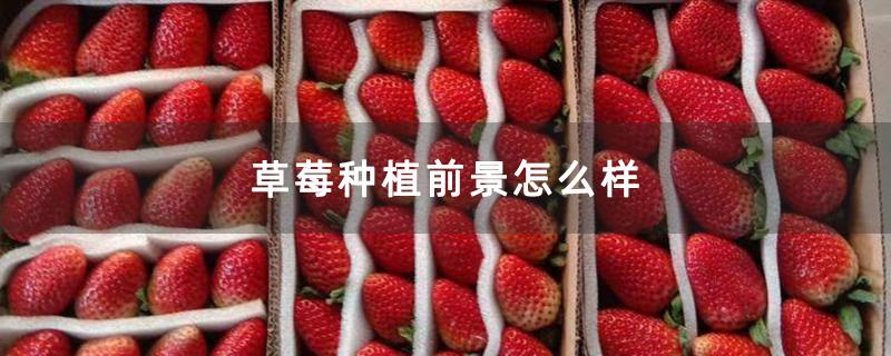草莓种植前景怎么样