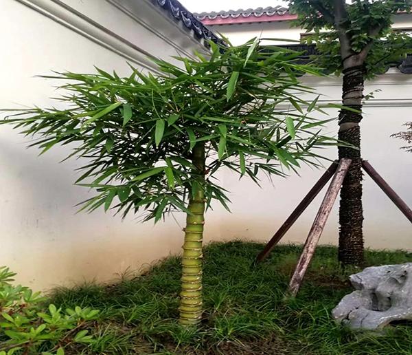 优秀的庭院观赏竹及配植方法