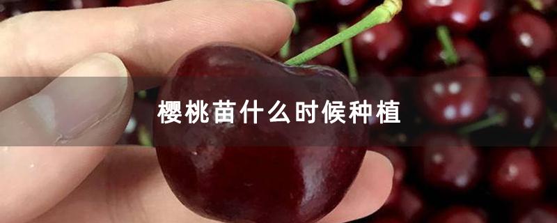 樱桃苗什么时候种植
