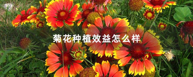菊花种植效益怎么样