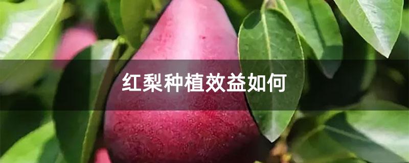 红梨种植效益如何
