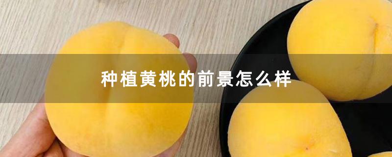 种植黄桃的前景怎么样