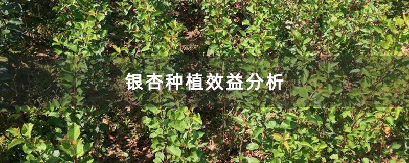 银杏种植效益分析