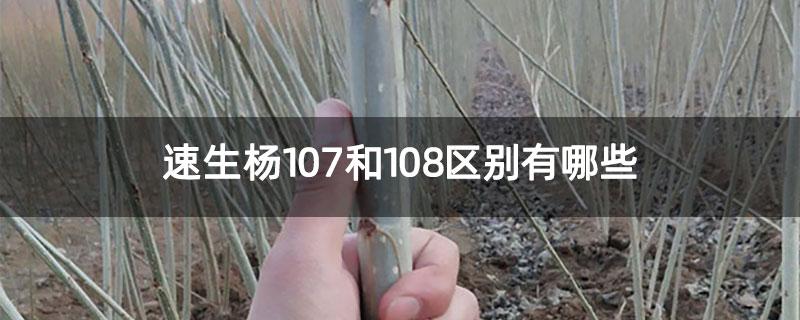 速生杨107和108区别有哪些