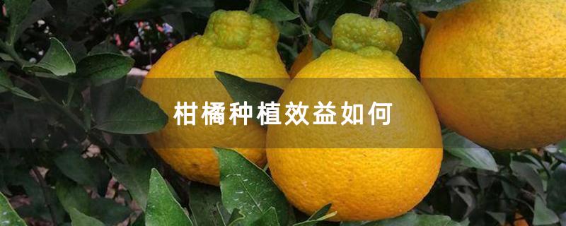 柑橘种植效益如何