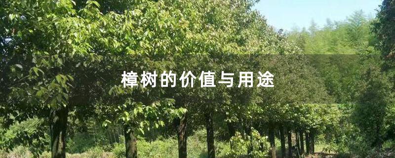 樟树的价值与用途