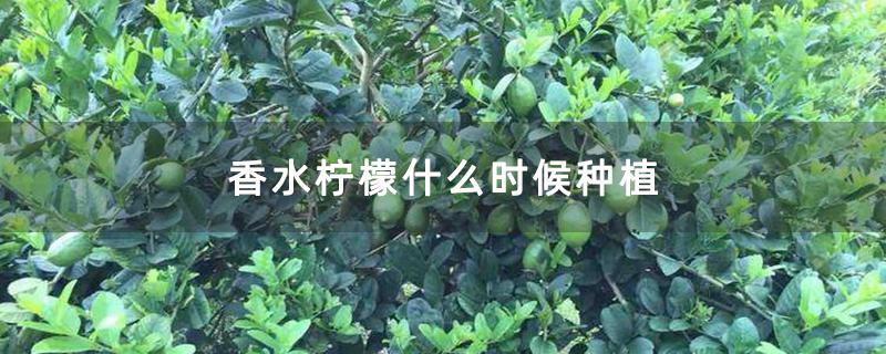 香水柠檬什么时候种植