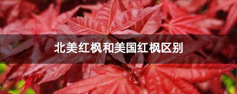 北美红枫和美国红枫区别