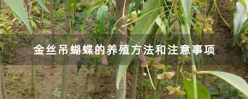 金丝吊蝴蝶的养殖方法和注意事项