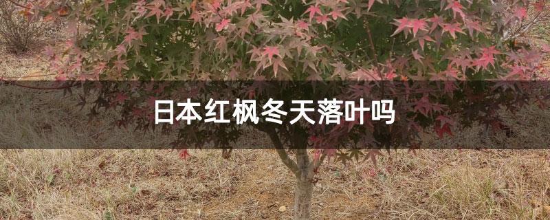 日本红枫冬天落叶吗
