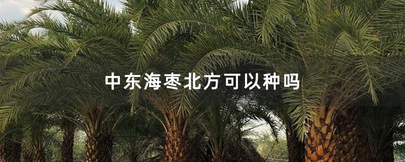 中东海枣北方可以种吗