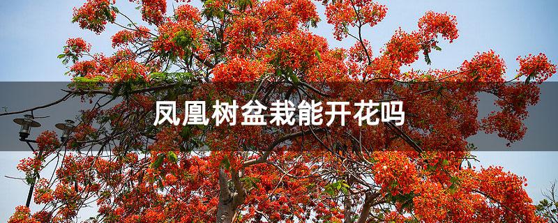 凤凰树盆栽能开花吗