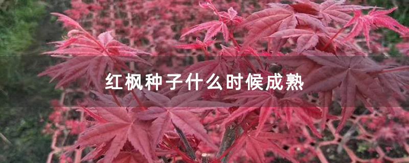 红枫种子什么时候成熟