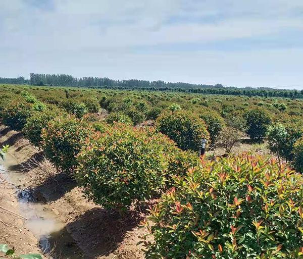江苏这家苗圃被众多采购商收藏,5000亩工程苗都有啥?——访江苏璟梵园林绿化工程有限公司