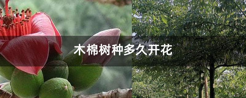 木棉树种多久开花