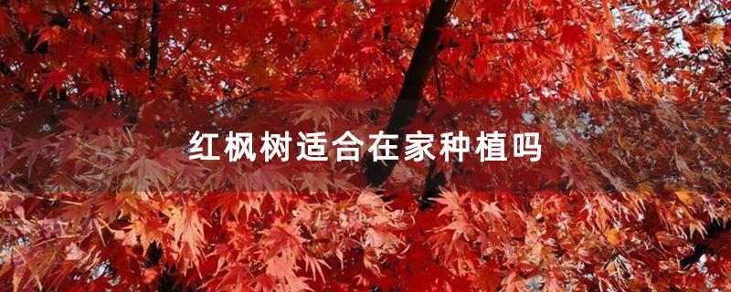 红枫树适合在家种植吗