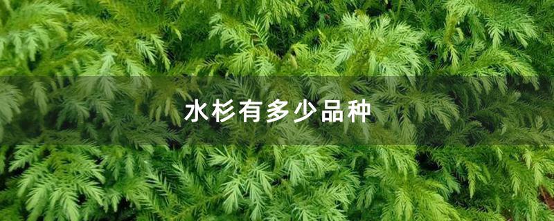 水杉有多少品种