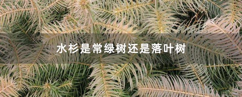水杉是常绿树还是落叶树
